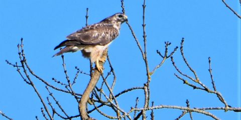 Bird of Prey – Buzzard near Hallaton
