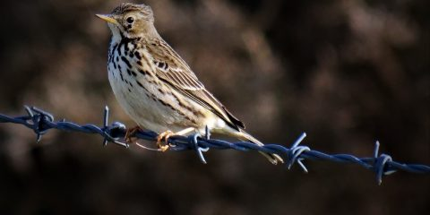 Meadow Pipit at Marloes in west Wales
