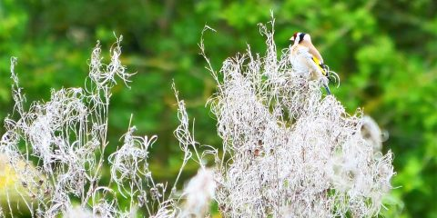 Scraptoft Nature reserve Leicester Goldfinch